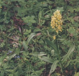 I don´t have better photo than this of yellow D. sambucina. Photographed in Nåtö in Ahvenanmaa.