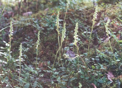 Goodyera in July 2000. It was wonderful year for this species, and this pic does not show any big specimen. Nurmijärvi.