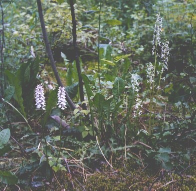 Orchids in Lappeenranta city, Dactylorhiza maculata and Platanthera bifolia