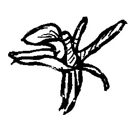 Draving from a single flower.