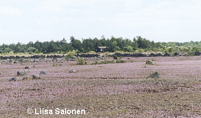 Alvar would be a wonderful place even without the orchids. This is taken near to Knisa Mossen.