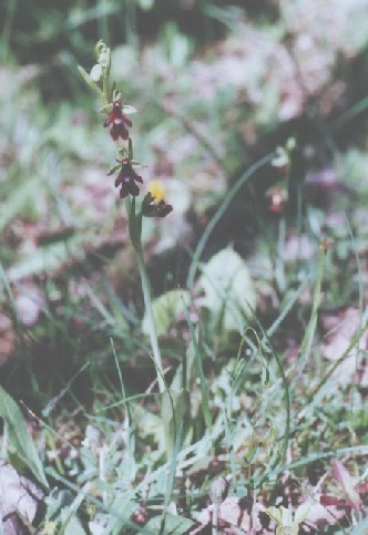 This Ophrys has been photographed in Öland, Sweden.