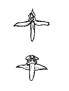 P. bifolia is upper, P. chlorantha is the one below. The position of pollinia is different.